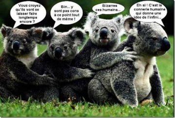 4 koalas w
