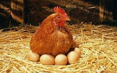Poules lev es en libert ufs en libert sachez for Oeuf de poule mou