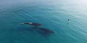 ce-surfeur-fait-du-paddle-a-cote-des-baleines.jpg