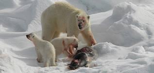 urs-polar